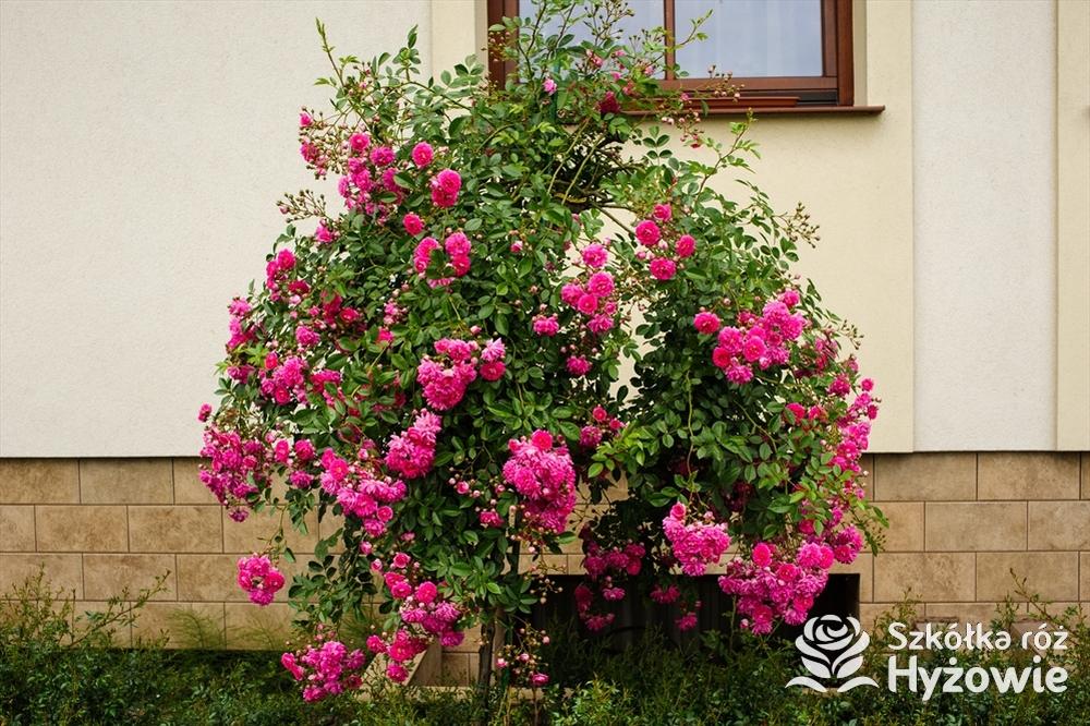 Sposoby produkcji róż piennych we własnym ogrodzie