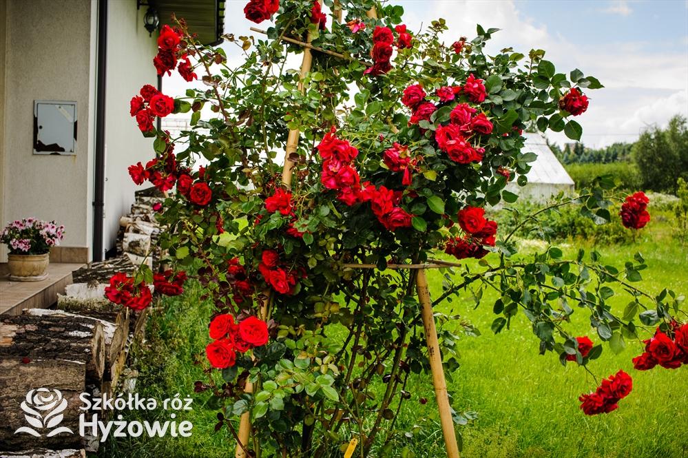 Kwiaty w ogródku; jakie zastosowanie mają róże?