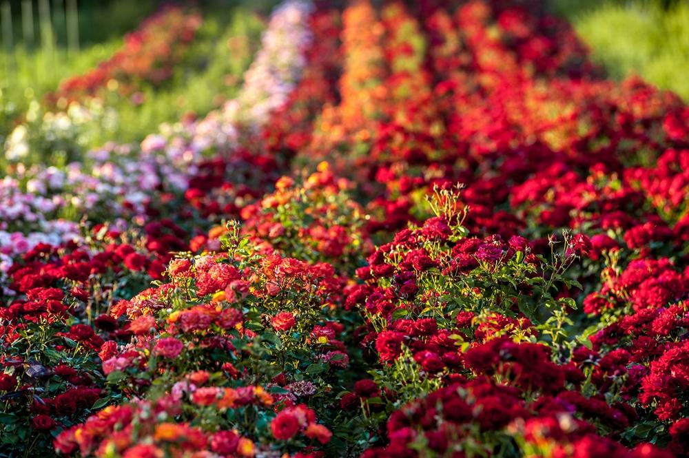 Czy róże powinno się podlewać?