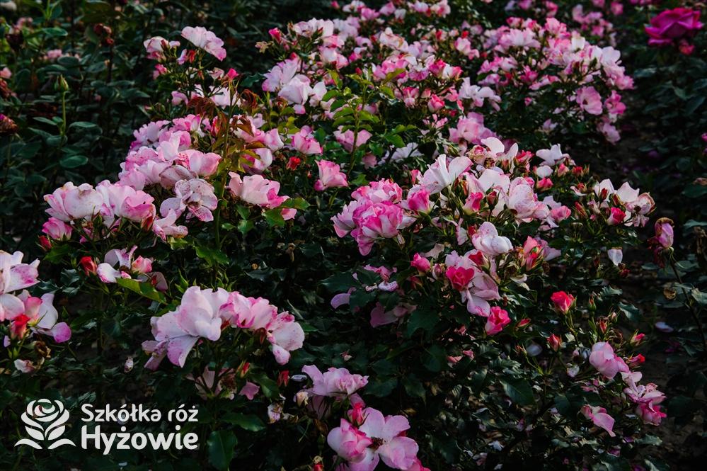 Róże okrywowe- dlaczego powinniśmy sadzić ich najwięcej?