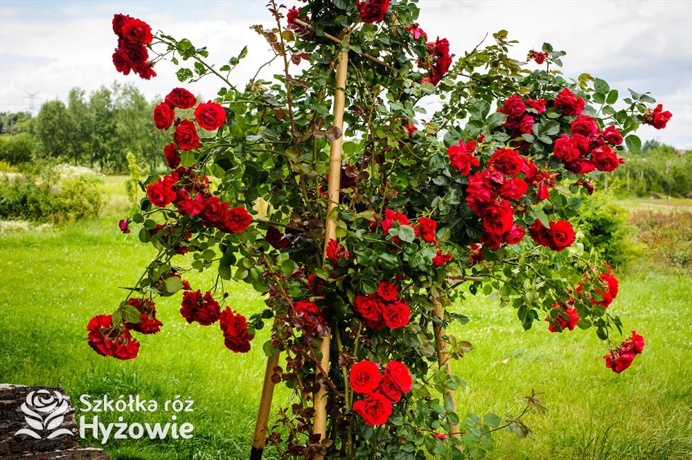Jak zabezpieczyć róże na zimę- róże pnące i parkowe