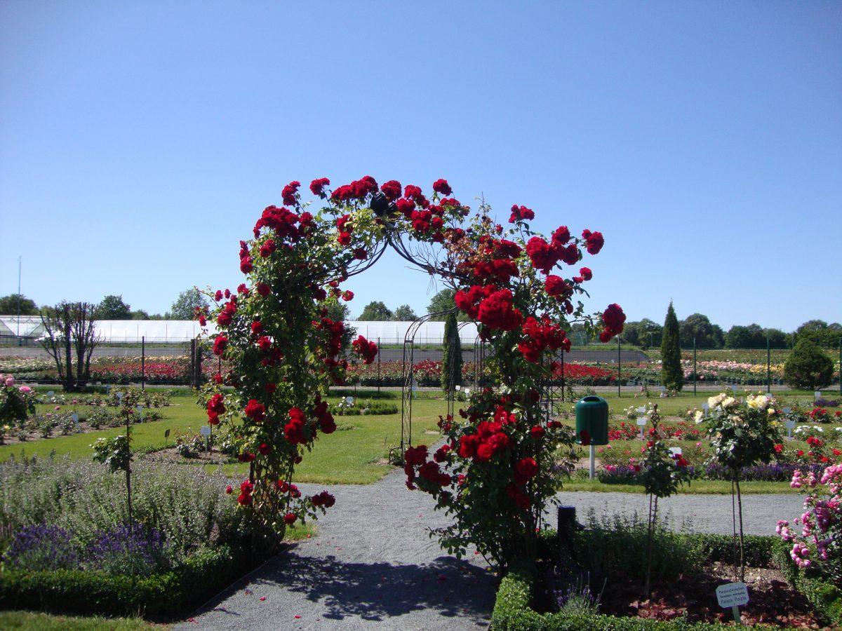 Róże pnące; polecane odmiany (część 1)