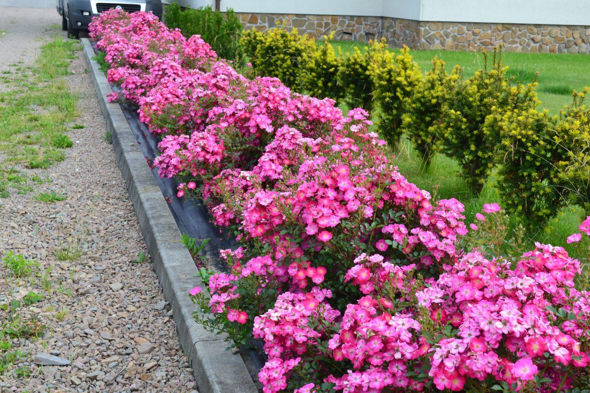 Róże miniaturowe; polecane odmiany (część 1)