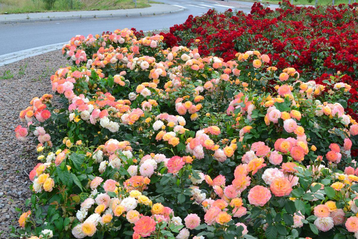 Róże rabatowe; polecane odmiany (część 1)