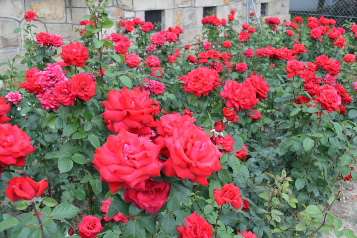 Róże wielkokwiatowe; polecane odmiany (część 1)