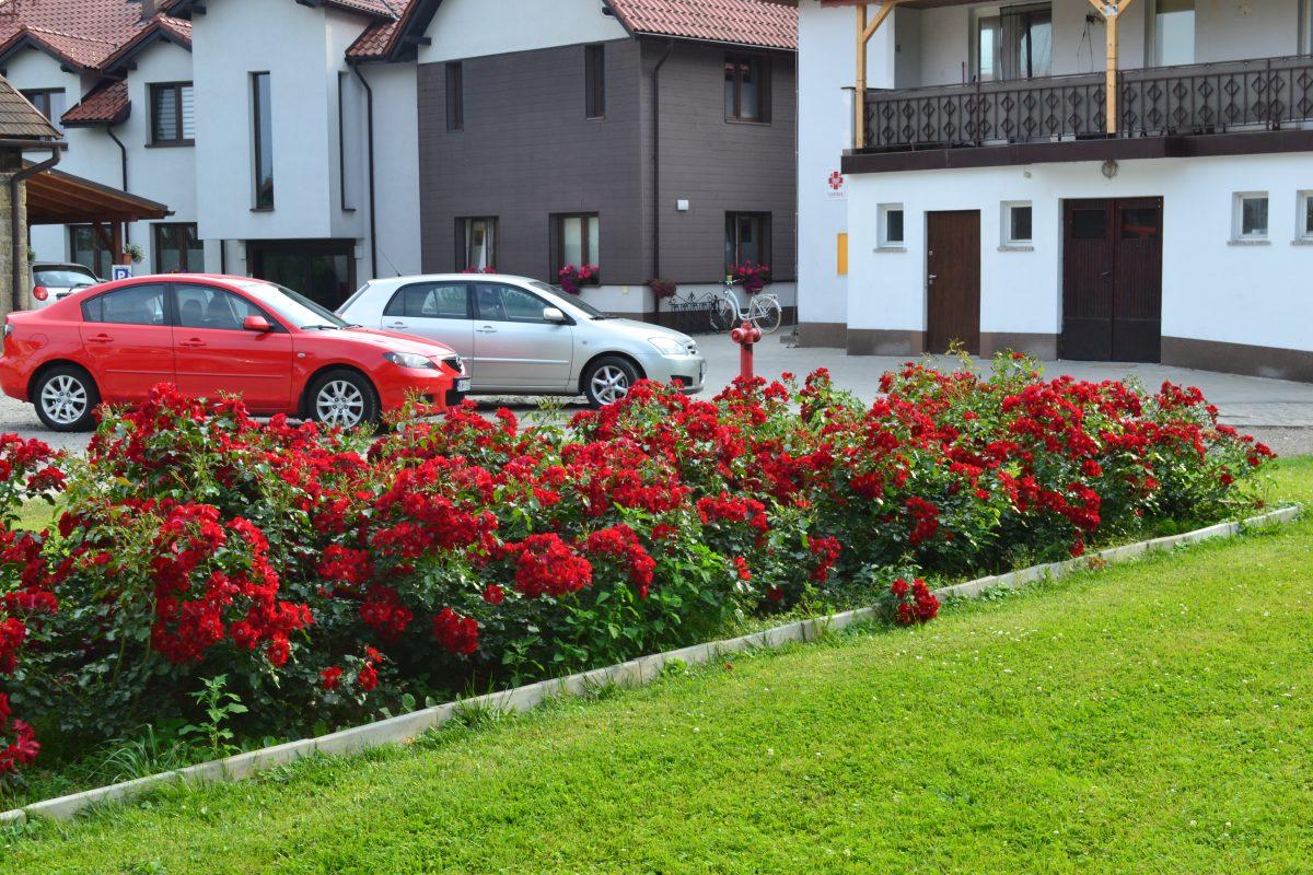 Róże okrywowe; polecane odmiany (część 1)