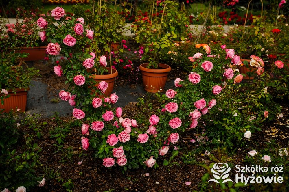 Róże parkowe; polecane odmiany (część 1)