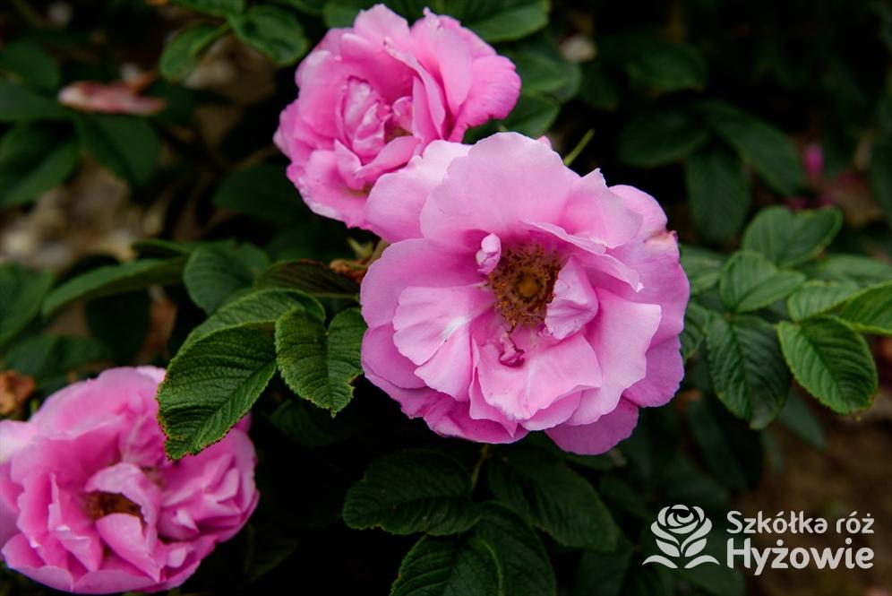 Czy warto sadzić Rosa rugosa z tzw. licencją?
