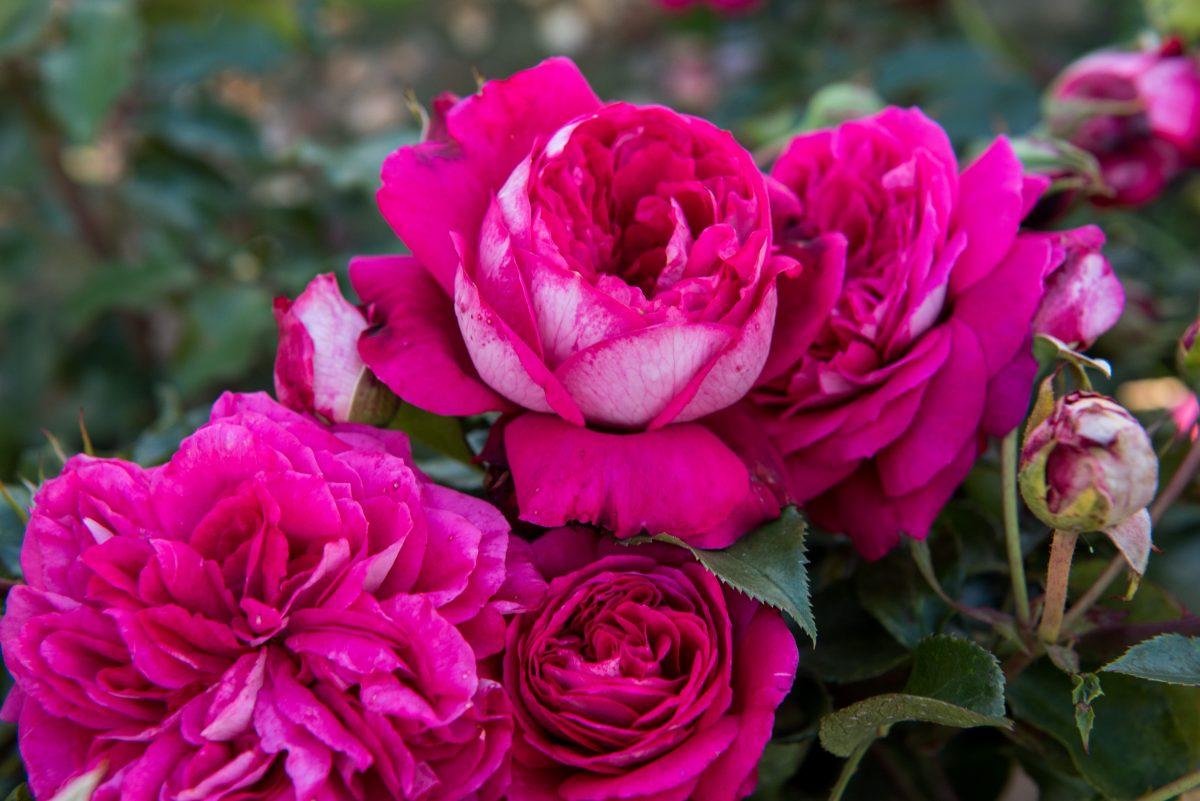 Róże nostalgiczne, ekskluzywne odmiany
