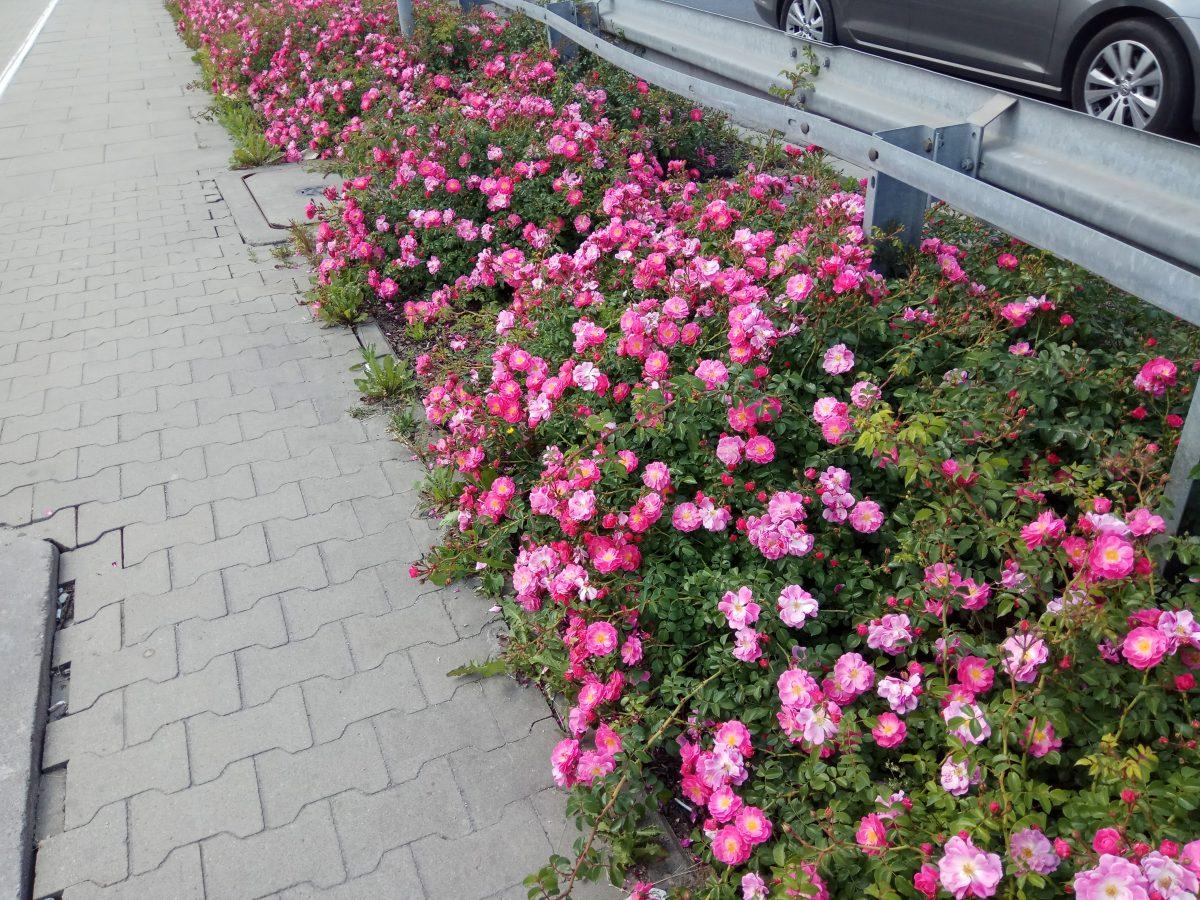 Róże okrywowe; polecane odmiany (część 2)